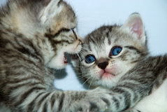 小猫联系 库存图片