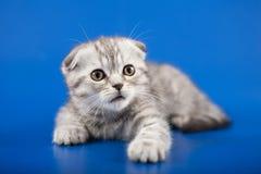小猫苏格兰人折叠品种 库存照片