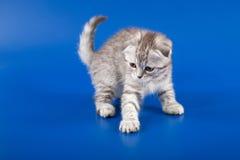 小猫苏格兰人折叠品种 免版税库存照片