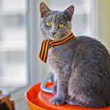 小猫苏格兰人 库存图片