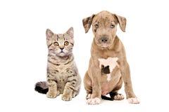 小猫苏格兰平直和pitbull小狗 免版税库存照片