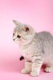 小猫苏格兰平直 免版税库存照片