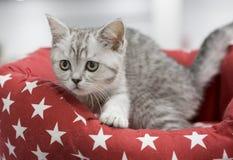 小猫苏格兰蓝色烟草花叶病与平直的耳朵 免版税库存照片