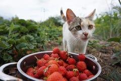 小猫草莓 免版税库存图片