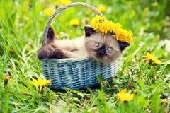 小猫被加冠的蒲公英花冠 库存图片
