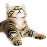 小猫西伯利亚人 免版税库存图片