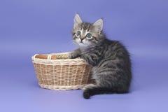 小猫西伯利亚人 库存照片