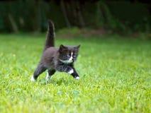 小猫运行中 免版税库存图片