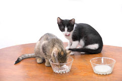 小猫饮用奶 库存图片