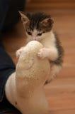 小猫攻击了人的腿 免版税库存图片