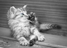 小猫洗涤 库存照片