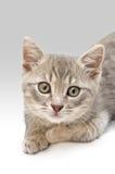 小猫画象 免版税库存图片