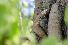 小猫头鹰在自已房子或分支树里 库存图片