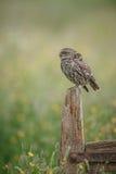 小猫头鹰在英国 库存图片