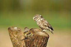 小猫头鹰观察它的牺牲者 免版税图库摄影