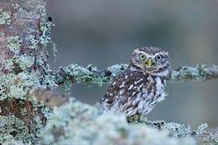 小猫头鹰,雅典娜小猫头鹰,在秋天落叶松属森林里在中欧,小鸟在自然栖所,捷克Repub画象  免版税图库摄影