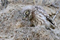 小猫头鹰说出食物遗骸  免版税库存照片