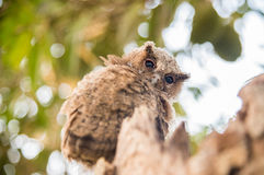 小猫头鹰 免版税图库摄影