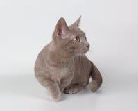 小猫munchkin 免版税库存照片