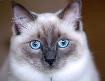 小猫ragdoll 免版税库存图片