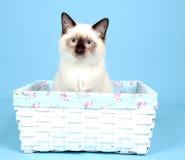 小猫ragdoll 免版税库存照片