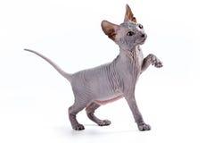小猫sphynx 免版税库存图片