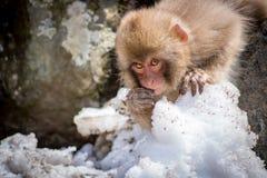 小猴子吃 库存照片