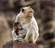 小猴子和母亲 免版税库存图片