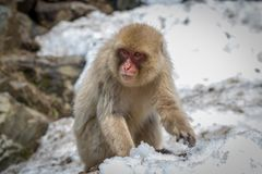 小猴子搜寻雪 图库摄影