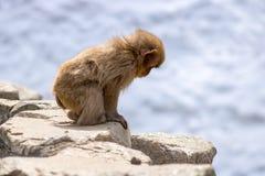 小猴子搜寻 免版税图库摄影