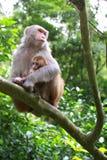 小猴子母亲保护 库存照片