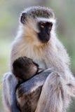 小猴子母亲天鹅绒 免版税库存照片