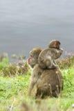 小猴子母亲雪 图库摄影