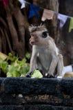 小猴子的纵向 免版税图库摄影