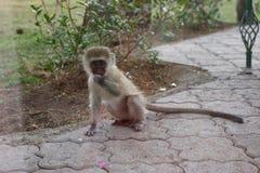 小猴子通过窗口看 免版税库存照片