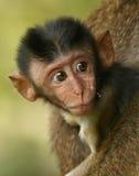 小猴子 免版税库存照片