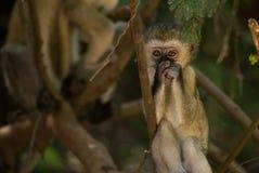 小猴子vervet 免版税库存图片