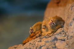 小猿侏儒 免版税库存照片
