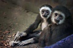 小猿猴子画象在室内动物园里 免版税库存图片