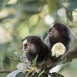 小猿猴子 图库摄影