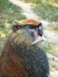 小猿猴子 库存图片
