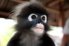 小猿 图库摄影