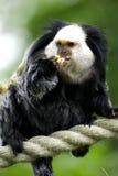 小猿 库存图片