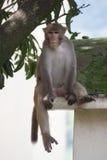 小猿 免版税库存图片