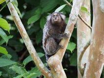 小猿 免版税图库摄影