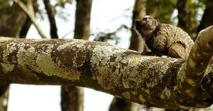 小猿 Callithrix penicillata 库存图片