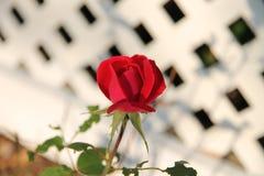 小玫瑰花蕾 库存图片