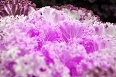 小珠紫色花椰菜 库存照片