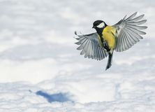 小甜心一只美丽的鸟广泛飞行传播它的翼 库存图片