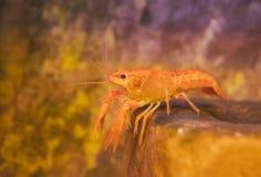 小甲壳动物 免版税图库摄影